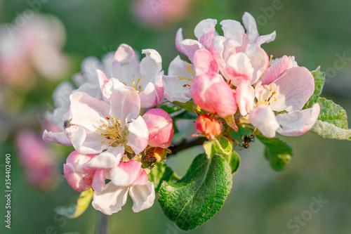 Fototapeta Blooming apple tree with white and pink flowers obraz na płótnie