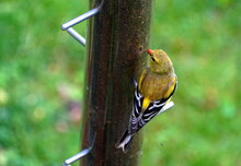 An American Goldfinch Eating T...