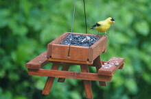 An American Goldfinch Eating S...