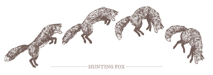 Jumping hunting fox in different motion phases. Sketch hand drawn engraved illustration of predator animal. Monochrome drawing