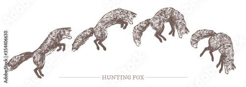 Fototapeta Jumping hunting fox in different motion phases. Sketch hand drawn engraved illustration of predator animal. Monochrome drawing obraz
