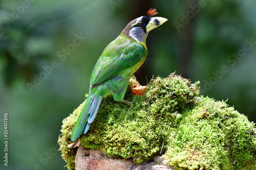 The fire-tufted barbet (Psilopogon pyrolophus) is a species of bird in the Asian barbet family Megalaimidae Canvas Print