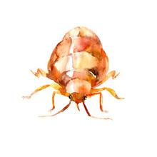Single Orange Bedbug, Beetle, ...