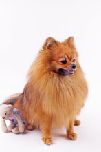Pomeranian Dog Isolated On A White Background.Pretty Red Young Spitz With Toy.Veterinary Medicine, Pets, Caring For Animals Concept.