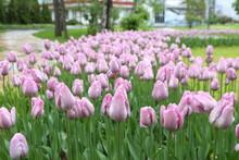 Many Pink Tulips In Park. Spri...