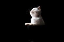 Small White Kitten Getting Out...