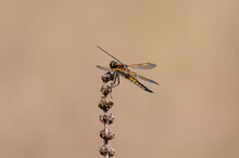 Four Spotted Chaser Dragonfly,...