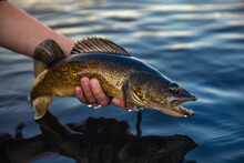 Fish In The Hand, Walleye Caug...