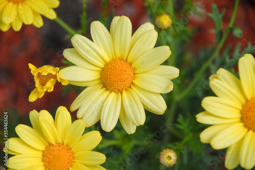Close up of yellow daisy flowers in the garden