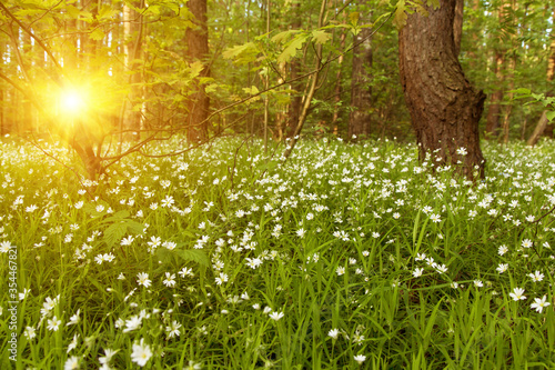 Fototapeta Flowers in bloom in sunlight in a forest in spring, summer obraz na płótnie