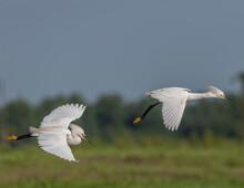 Snowy Egrets Flying In Tandem