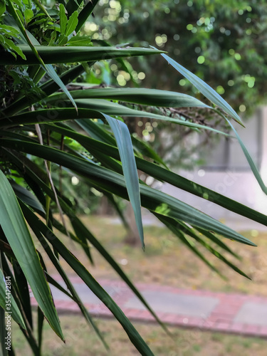 Majesty palm tree long leaves in a garden Canvas Print