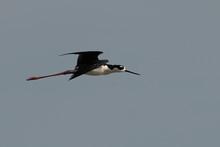 Black-necked Stilt Flying