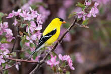 Goldfinch (Spinus Tristis) In Flowering Crabapple Tree;  Laramie, WY