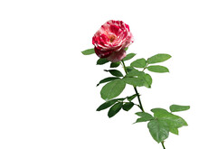 Red And White, Mixed Color Rose With Green Leaves Isolated On White Background.