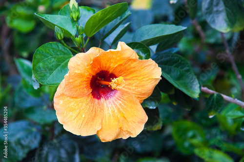 Fotografie, Obraz Hibiscus rosa sinensis or better known as Bunga Raya which is Malaysia National