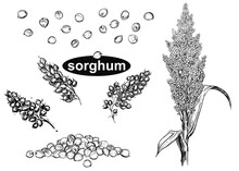 Detailed Hand Drawn Black And White Illustration Set Of Sorghum Branch, Leaf, Flower. Sketch. Vector. Elements In Graphic Style Label, Card, Sticker, Menu