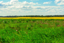 Background Of Rape Yellow Field And Blue Sky
