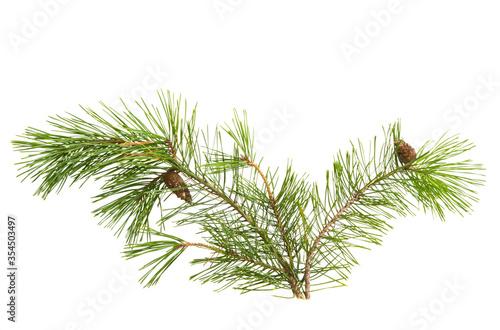 Obraz pine branch isolated - fototapety do salonu