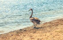 Wild Goose Alone On The River Shore. Stock Photo.