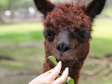 Alpaca Eating Leaf