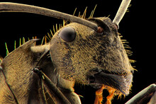 Ants Face Extreme Close Up