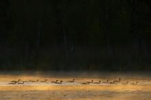 Many Greylag Geese In Dawn Mist