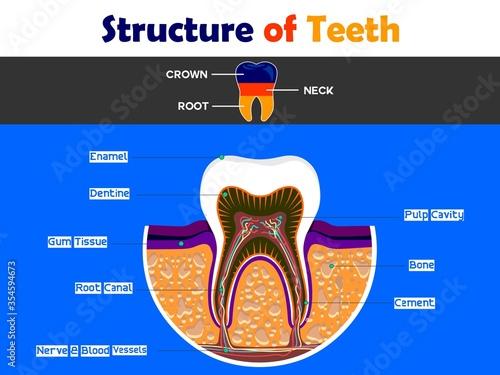 human teeth anatomy Canvas Print