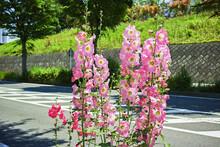 沿道に植えられたピンクの立葵の花