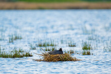 The Eurasian Coot Or Fulica At...