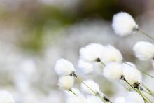 Close Up Of Cottongrass (eriop...