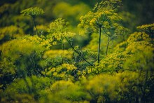 Selective Focus Shot Of Queen Anne's Lace Plants In The Field With Blurred Background