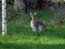 Anchorage Alaska Hare