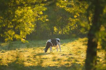 Holstein Friesian cow