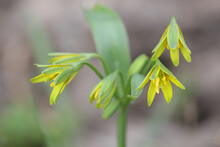 Gagea Lutea, Known As The Yellow Star Of Bethlehem, Wild Flower From Finland