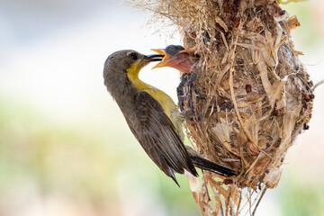 Image of Purple Sunbird (Female) feeding baby bird in the bird's nest on nature background. (Cinnyris asiaticus). Bird. Animals.
