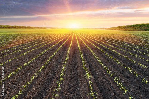 Obraz Field with rows of young corn - fototapety do salonu
