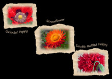 Three Red Flowers On Sepia Tattered Tiles On A Black Background.  Flowers Are Labeled As Oriental Poppy, Strawflower And Double Ruffled Poppy.