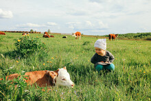A Little Girl In A Pasture Meets A Calf And Cows