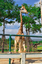 Giraffe A Large African Animal With A Very Long Neck And Long Legs