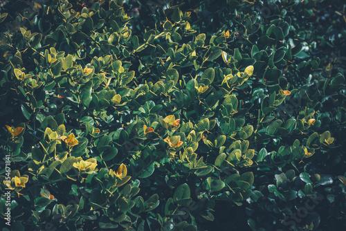 Cuadros en Lienzo Leaves of an evergreen shrub
