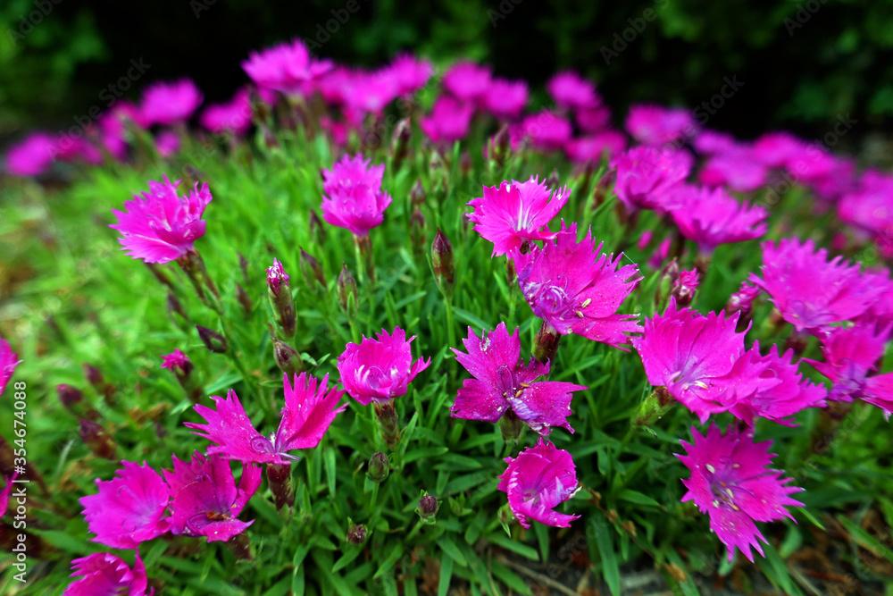 heidenelke, polsternelke Dianthus deltoides