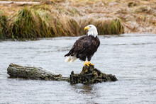 A Bald Eagle Perched On A Log In British Columbia In Canada