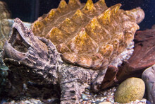 The Alligator Snapping Turtle ...