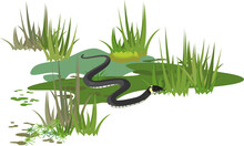 Grass Snake Or Natrix Natrix In Swamp Biotope