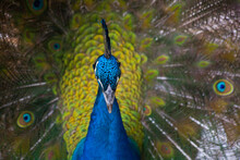 Beautiful Peacock Outdoors