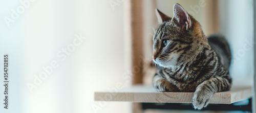 Fotografia, Obraz Young tabby cat lying on wooden shelf