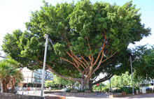 Old Ficus Tree On A City Stree...
