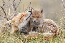 Red Fox Cub In Nature On A Springday.