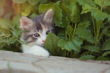 A Curious Beautiful Multi-colored Kitten Hid In The Bushes And Looks Out Curiously From The Foliage